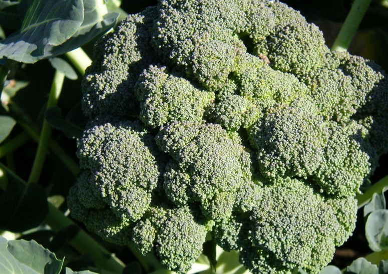 Compound found in broccoli, cabbage and avocado could slow down aging
