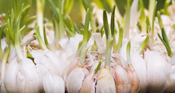 garlic-e1486819554503