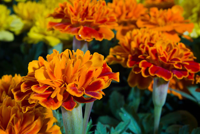 Marigolds possess a natural repellent against devastating pests