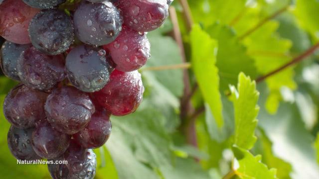 Natural grape compound resveratrol treats deadly neurodegenerative disease