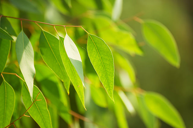 Medicinal plants: The survival uses of eucalyptus