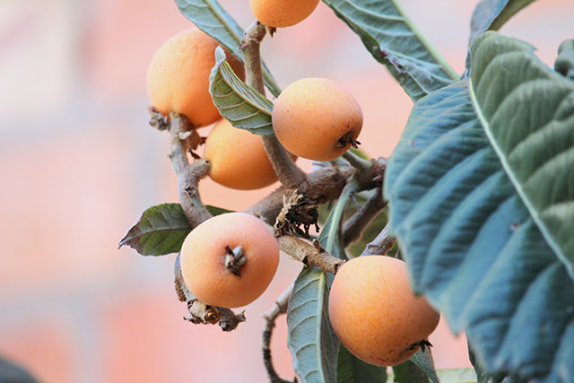 Loquat, native to many regions in Asia, exhibits anti-diabetes properties