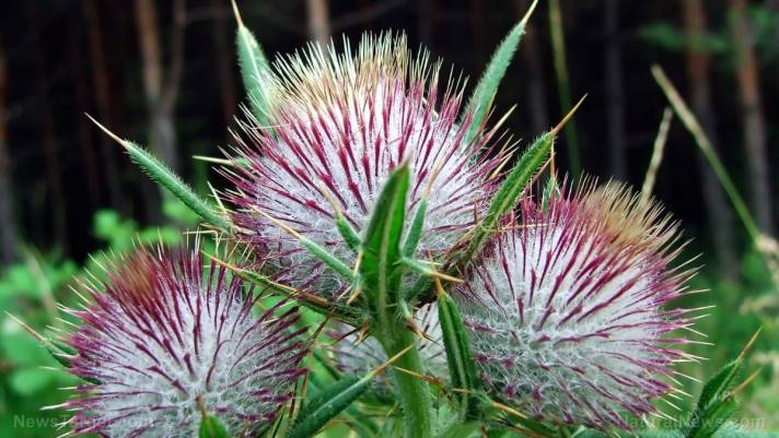 Milk thistle is a natural medicine