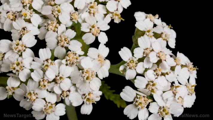 Yarrow herb is stronger than DEET at repelling mosquitos and ticks, and it's completely non-toxic