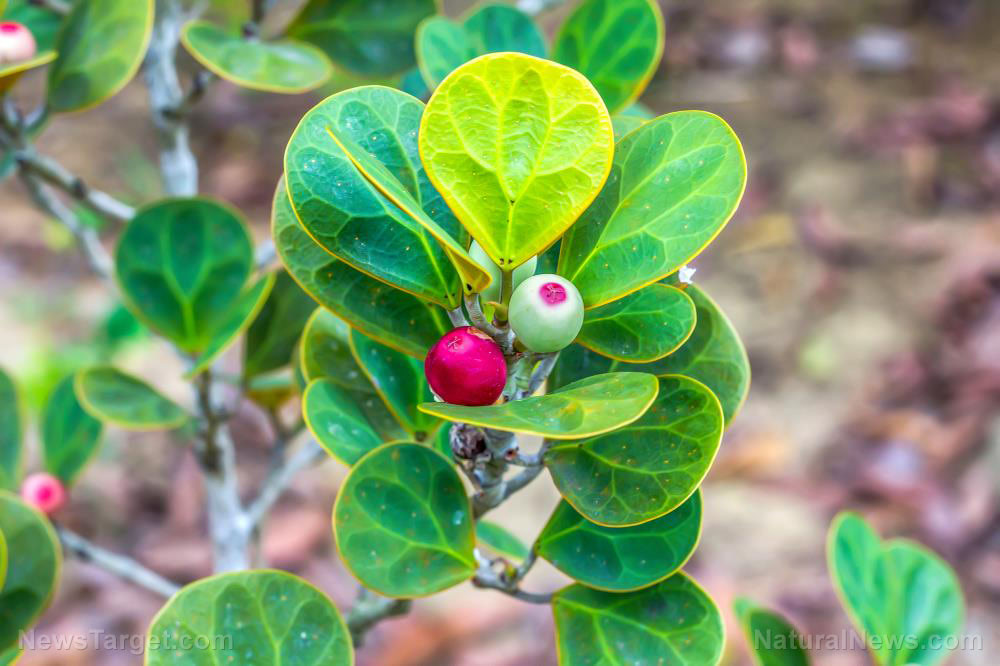 Mistletoe being considered as an alternative treatment for cancer