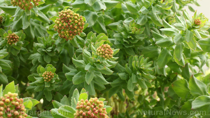 Exploring the beneficial effects of Rhodiola rosea and Panax ginseng on metabolic parameters