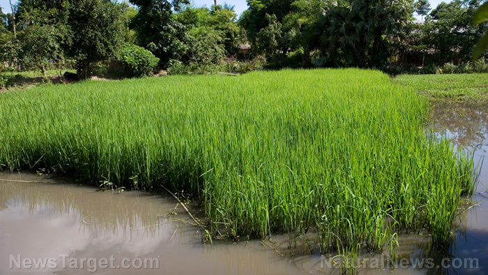 Rice eaters beware: Study reveals fungicide and insecticide residues on rice hulls across a majority of samples