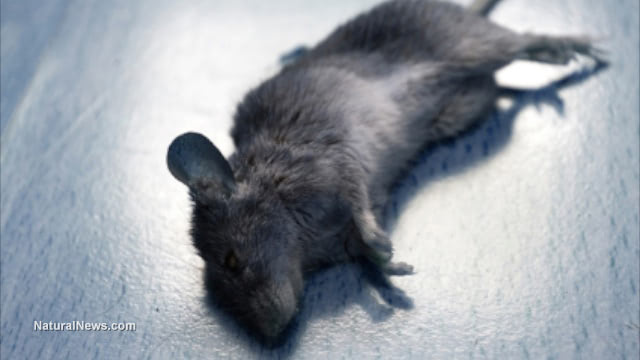 Scientific fraud? DuPont study deliberately hid toxic effects of GMOs fed to rats