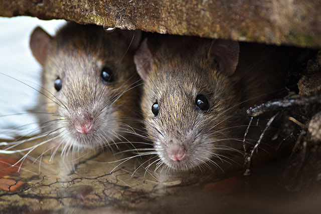 Extended coronavirus lockdown making London's rat infestation worse