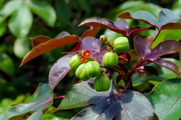 Researchers confirm the antiplasmodial effects of bellyache bush on malaria-infected mice