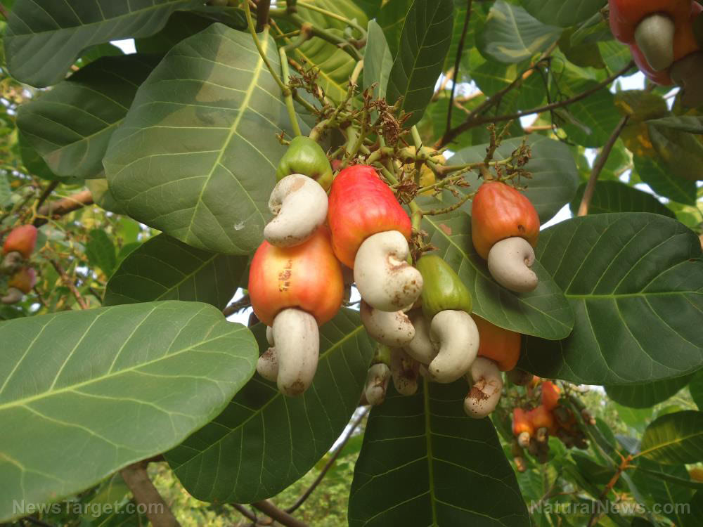 Stop inflammation and asthma attacks with cashew leaf extracts