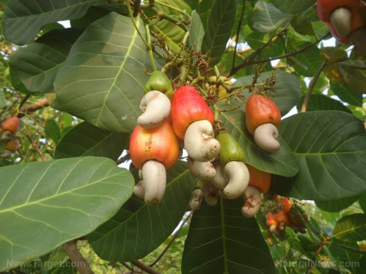 Researchers identify the compounds responsible for Anacardium occidentale's (cashew) anti-asthma effects