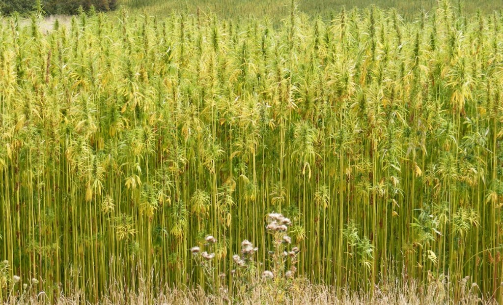 Hemp: the versatile biofuel that could save America's energy independence