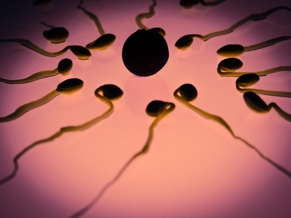 Sperm from malnourished males transmits information that negatively affects the genetic expression of their offspring