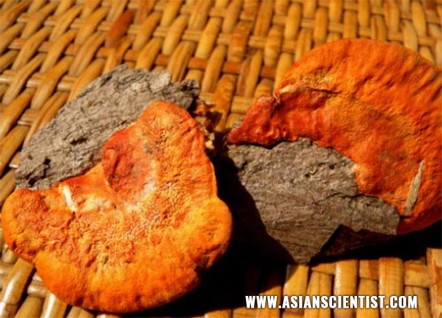 Medicinal mushroom used in traditional Taiwanese medicine protects the liver from inflammation, fibrosis, and cancer