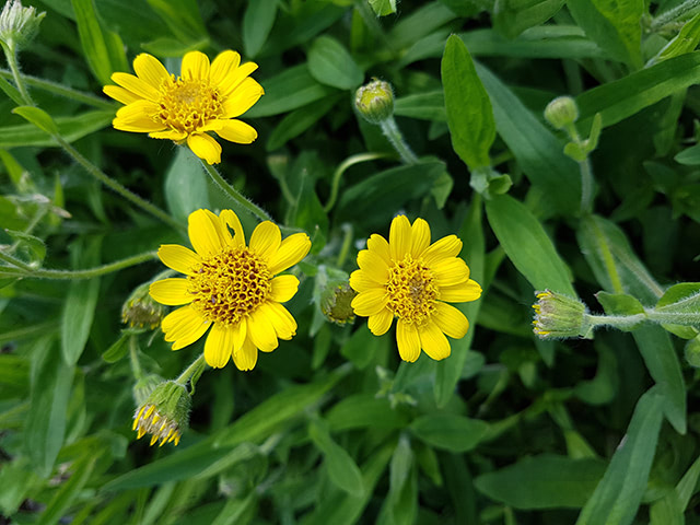Have you heard of wolf's bane? This pretty yellow plant has many medicinal uses