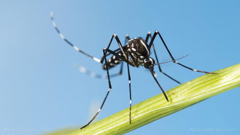 Genetically modified mosquitoes are being released in Florida Keys despite protests
