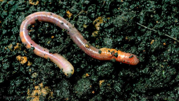 Worms are cool: They can regrow their brains if they lose their heads