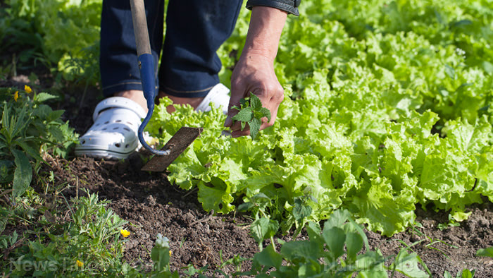 Top 5 vegetables that are cheaper to grow than buy