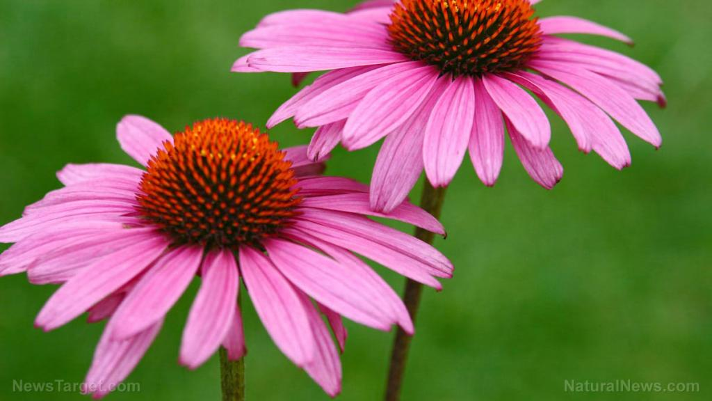 Echinacea extract can help address mild anxiety in adults, reveals study