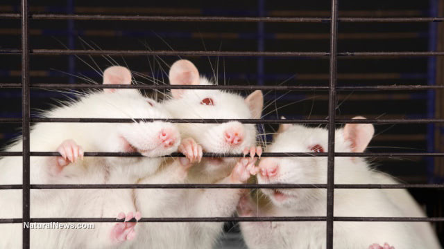 """Chinese army medical researchers bioengineered lab mice with """"humanized lungs"""" to test coronaviruses"""