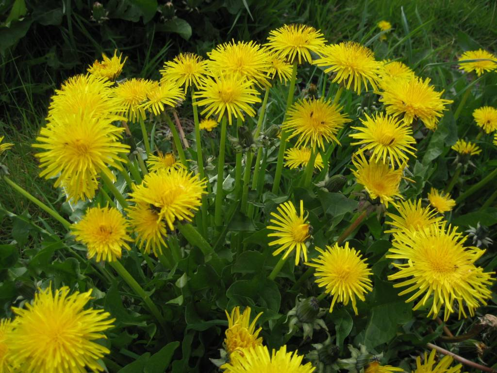 Survival foraging: How to identify and use dandelion, a versatile weed