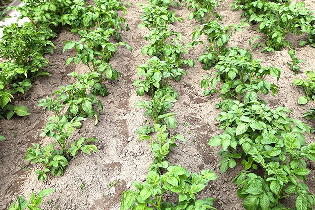 Want bigger, healthier potatoes? Use straw mulch; it improves soil quality and suppresses weeds