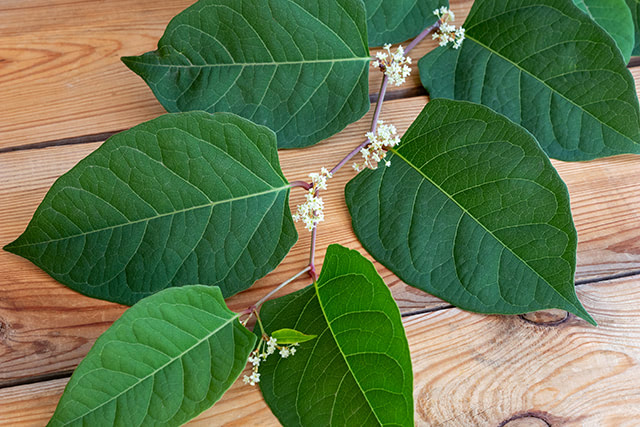 Huge finding: Japanese knotweed can inhibit growth of (and destroy) liver cancer stem cells