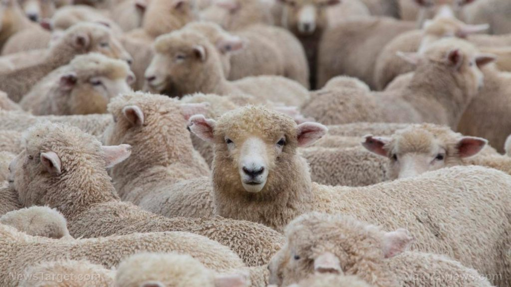 The vaccinated sheep are being taken for a ride — How long before they jump off the train? Never?