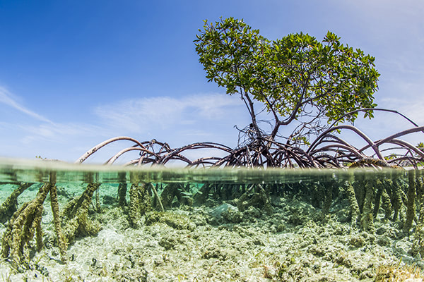 Water purifier inspired by mangrove trees can remove salt from water