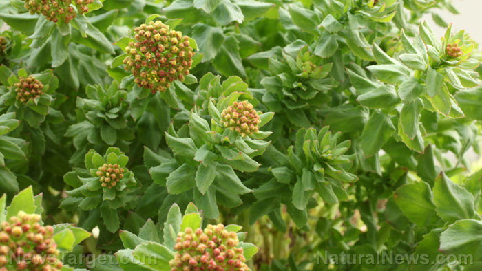 The potential neuroprotective properties of salidroside from Rhodiola rosea