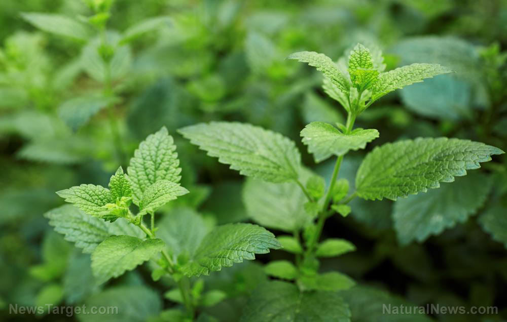 Lemon balm is excellent survival medicine: Review of its medicinal properties and how to use it